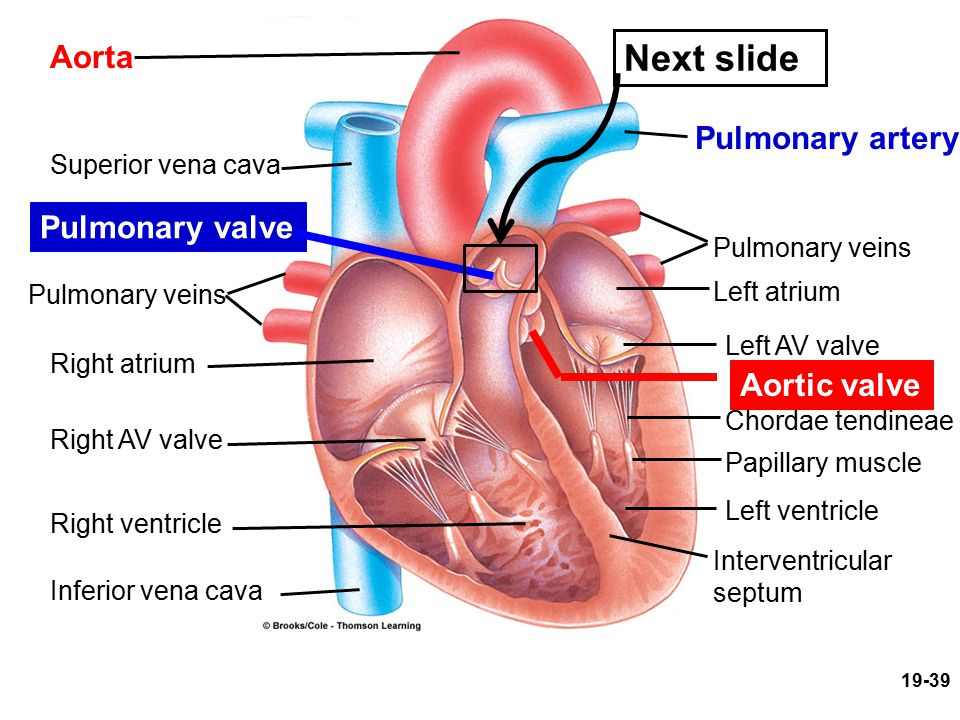 Aorta Superior vena cava Pulmonary valve Pulmonary veins Right atrium Right AV valve Right ventricle Inferior vena cava Pulmonary artery Pulmonary vei