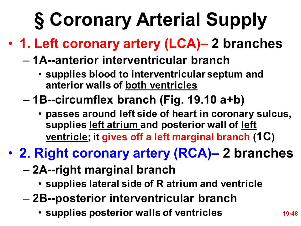 19-48 § Coronary Arterial Supply 1. Left coronary artery (LCA)– 2 branches –1A--anterior interventricular branch supplies blood to interventricular se