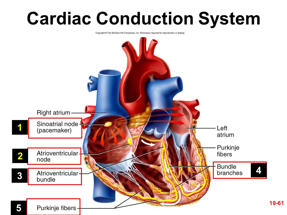19-61 Cardiac Conduction System 1 2 3 4 5