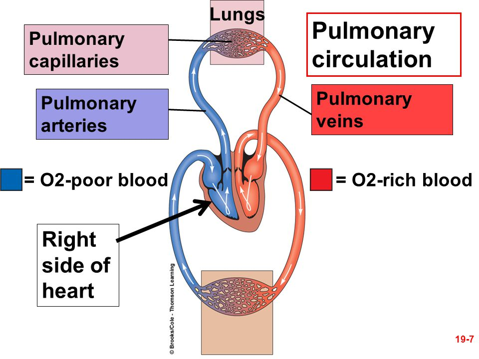 Lungs Pulmonary capillaries Pulmonary circulation Right side of heart = O2-rich blood= O2-poor blood Pulmonary veins Pulmonary arteries 19-7