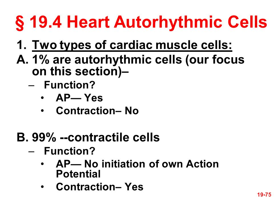§ 19.4 Heart Autorhythmic Cells 1.Two types of cardiac muscle cells: A.1% are autorhythmic cells (our focus on this section)– –Function? AP— Yes Contr