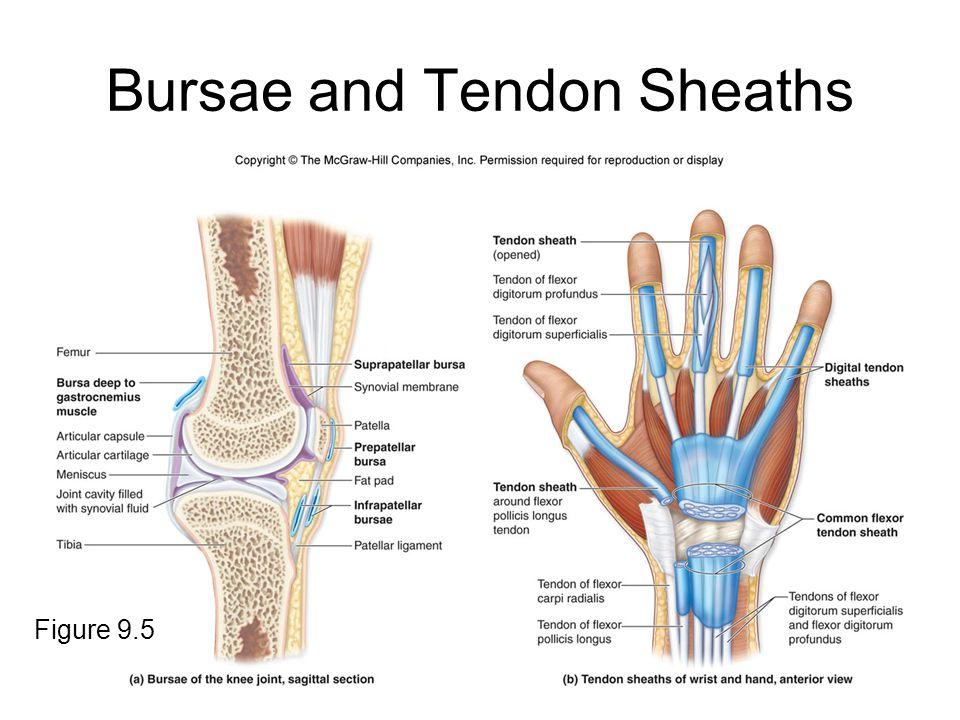Bursae and Tendon Sheaths Figure 9.5