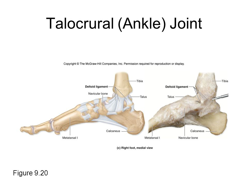 Talocrural (Ankle) Joint Figure 9.20