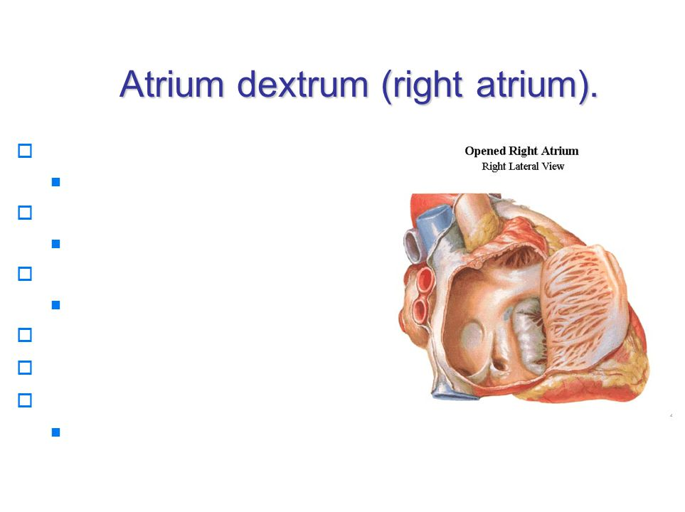 Atrium dextrum (right atrium).  ostium v. cavae inferioris valvula v.c.i.