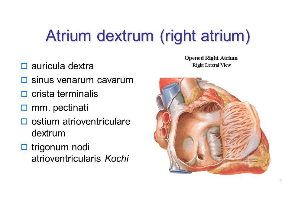 Atrium dextrum (right atrium)  auricula dextra  sinus venarum cavarum  crista terminalis  mm.