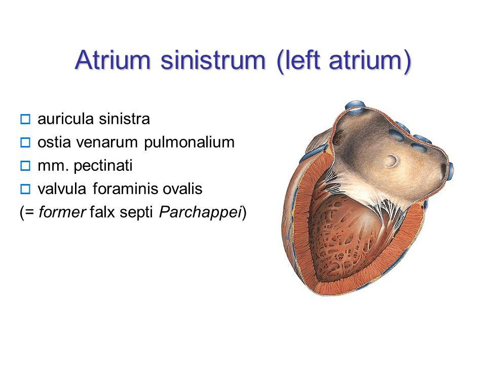 Atrium sinistrum (left atrium)  auricula sinistra  ostia venarum pulmonalium  mm.