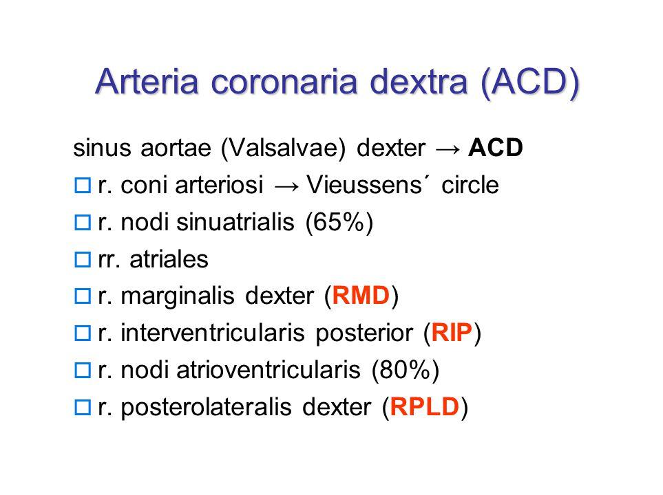 Arteria coronaria dextra (ACD) sinus aortae (Valsalvae) dexter → ACD  r.
