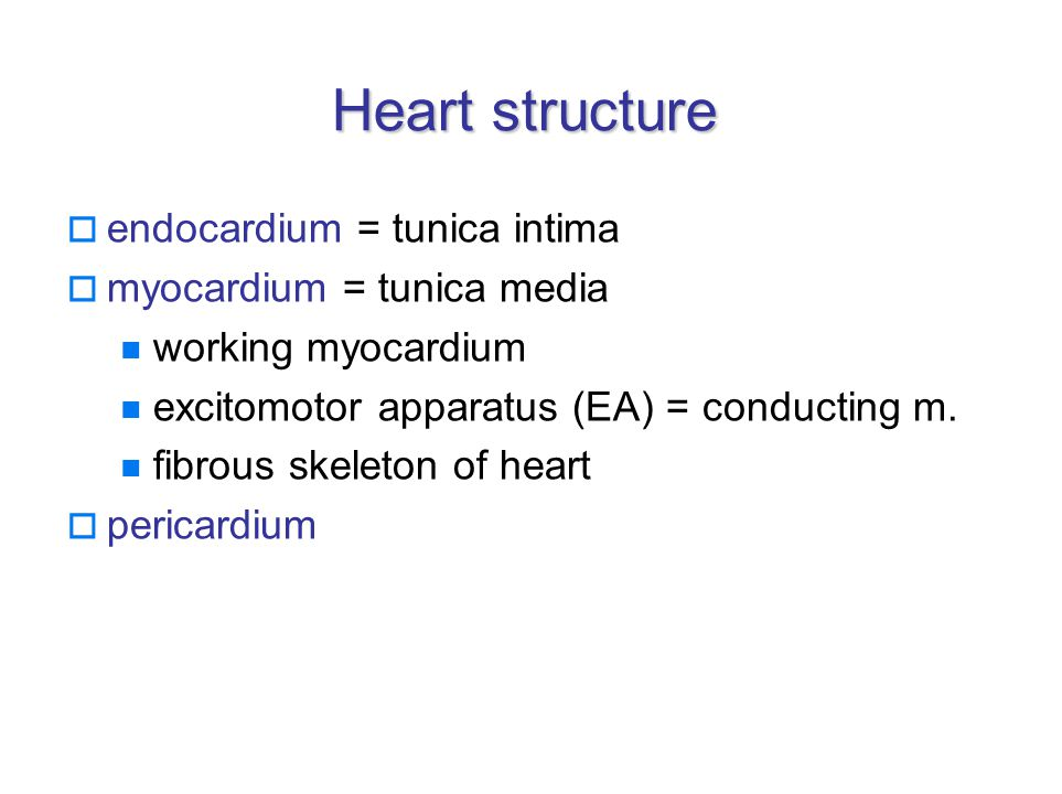 Endocardium  continuous with vessels´ tunica intima  4 layers: endothelial subendothelial – collagenous fibres fibromuscular - collagenous, elastic connective tissue, smooth muscle cells – thicker in atria subendocardial – containing conducting myocardium, loose connective tissue  endocardium forms heart valves