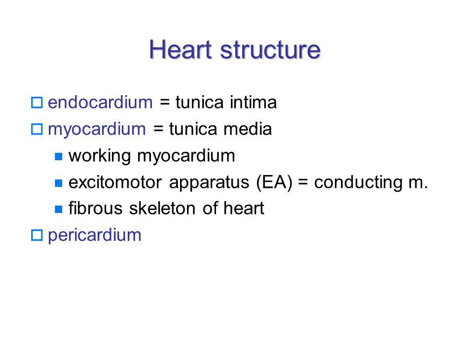 Heart structure  endocardium = tunica intima  myocardium = tunica media working myocardium excitomotor apparatus (EA) = conducting m.