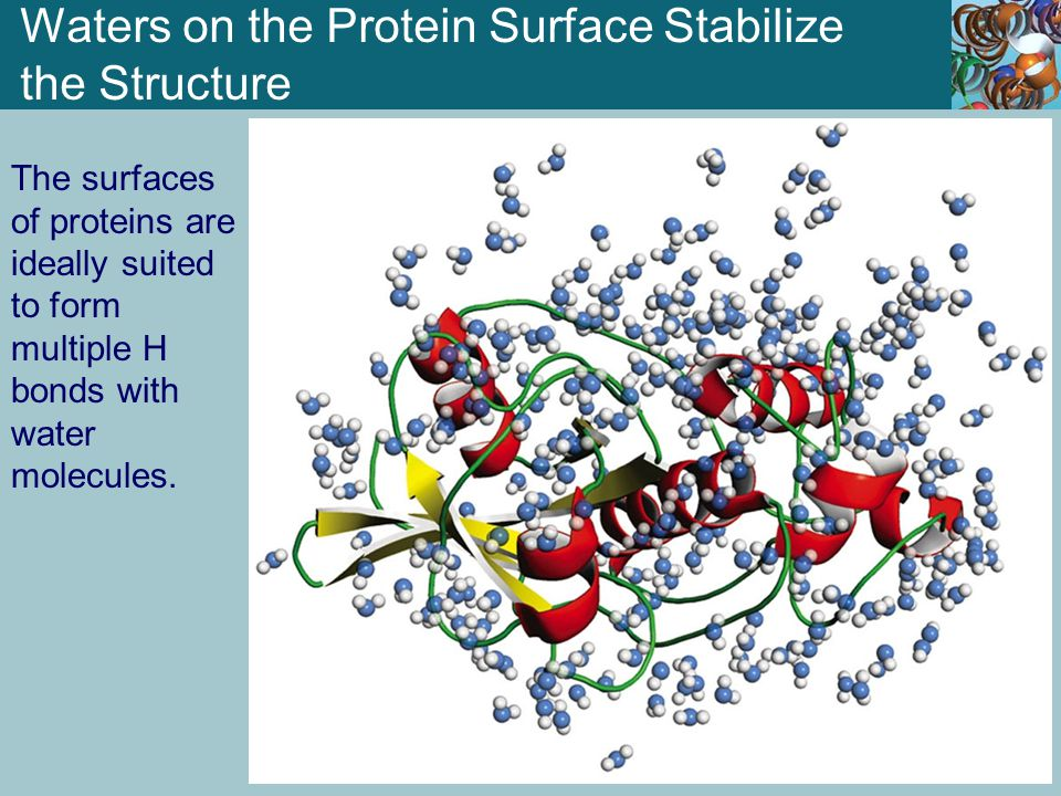 Waters on the Protein Surface Stabilize the Structure The surfaces of proteins are ideally suited to form multiple H bonds with water molecules.