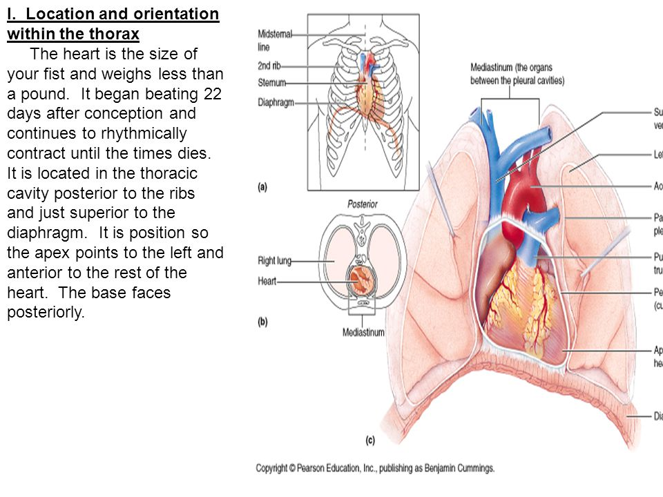 2.Right Ventricle- a lower chamber that receives blood from the right atrium.