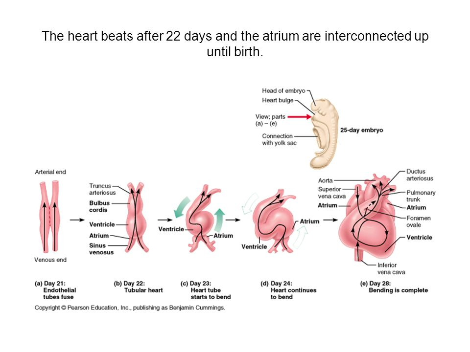 The heart beats after 22 days and the atrium are interconnected up until birth.
