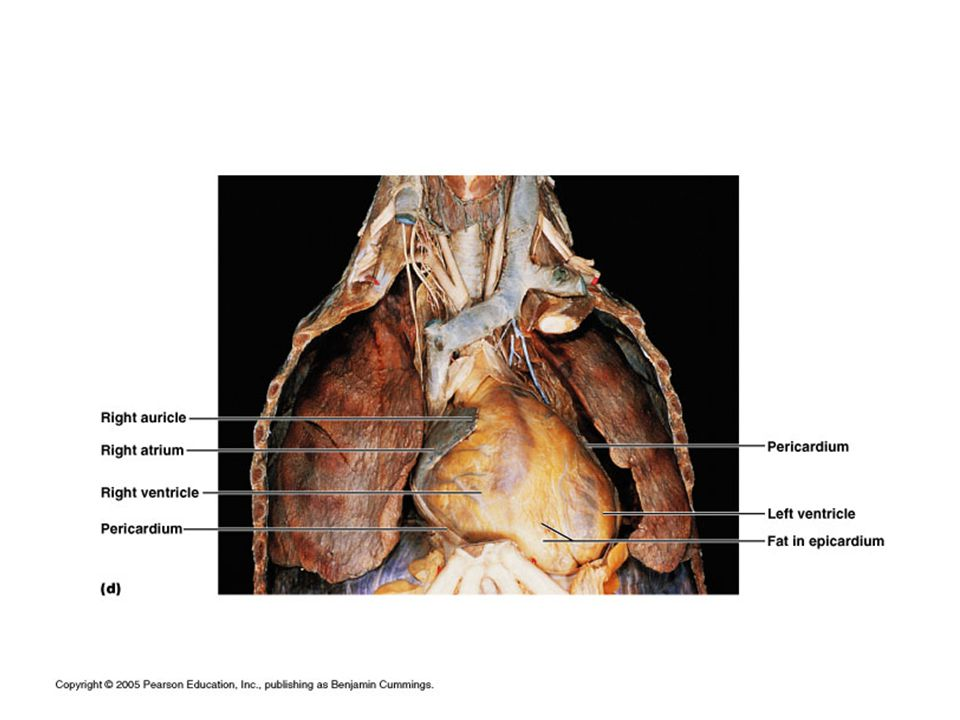 4.Left Ventricle- lower chamber that receives blood from the left atrium.