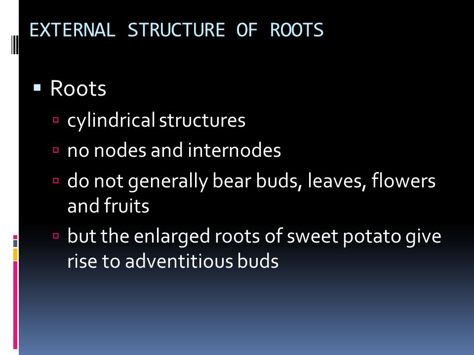EXTERNAL STRUCTURE OF ROOTS  Roots  cylindrical structures  no nodes and internodes  do not generally bear buds, leaves, flowers and fruits  but the enlarged roots of sweet potato give rise to adventitious buds