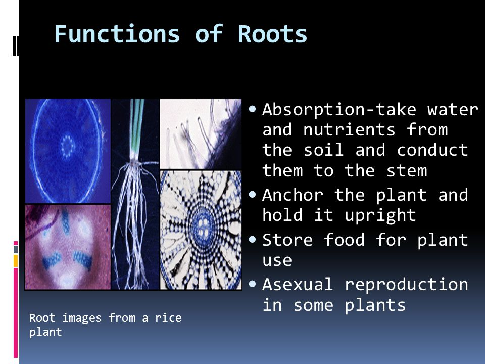 Functions of Roots Absorption-take water and nutrients from the soil and conduct them to the stem Anchor the plant and hold it upright Store food for