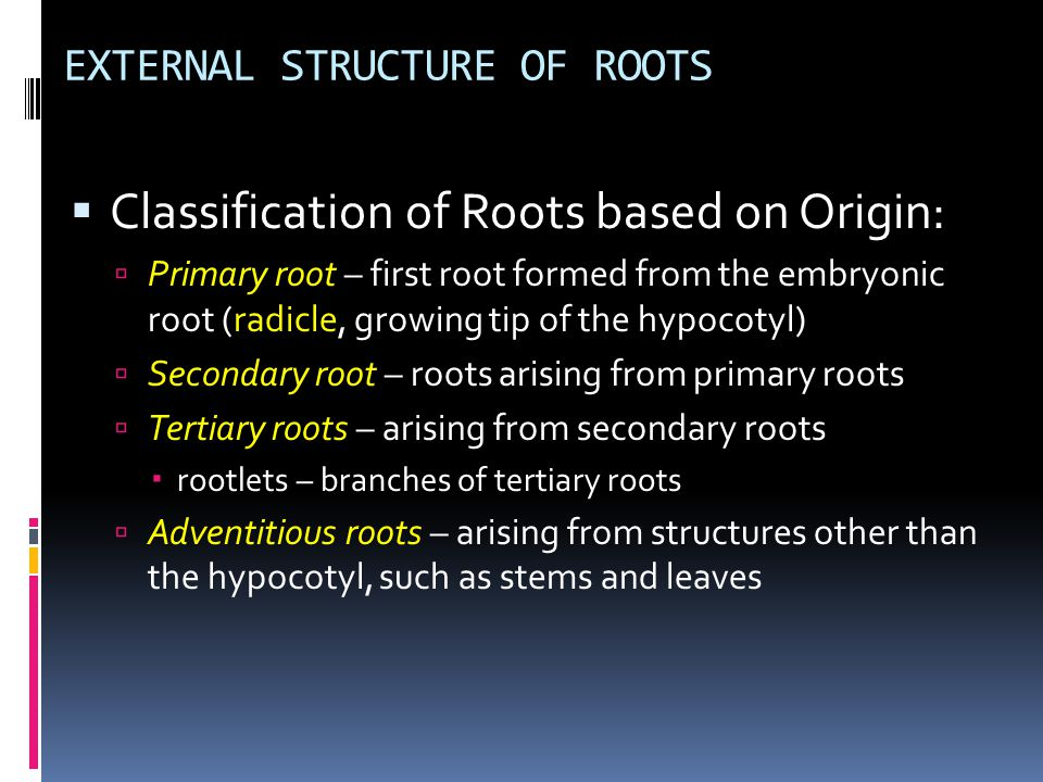 EXTERNAL STRUCTURE OF ROOTS  Kinds of Root Systems  Taproot System  has prominent primary root  Fibrous (diffuse) System  Primary root is lost and replaced by numerous adventitious roots arising from the lower portion of the stem  Slender in form and are more or less equally prominent