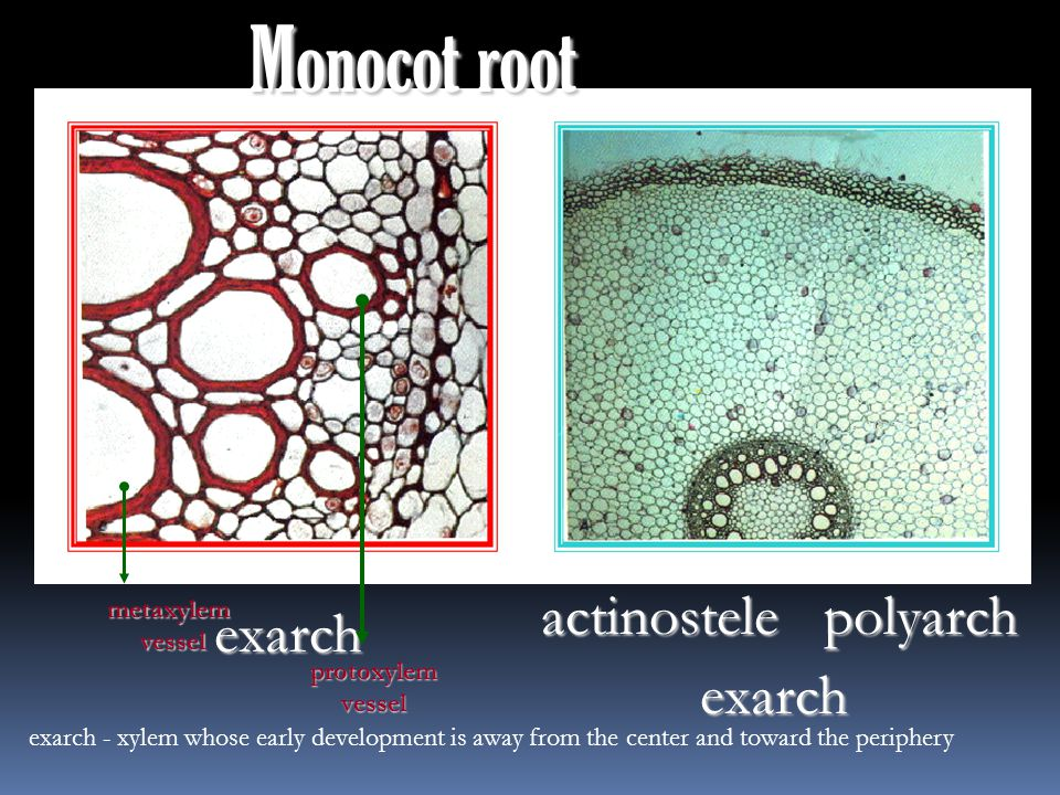 Monocot root actinostelepolyarch exarch exarch metaxylemvessel protoxylemvessel exarch - xylem whose early development is away from the center and toward the periphery