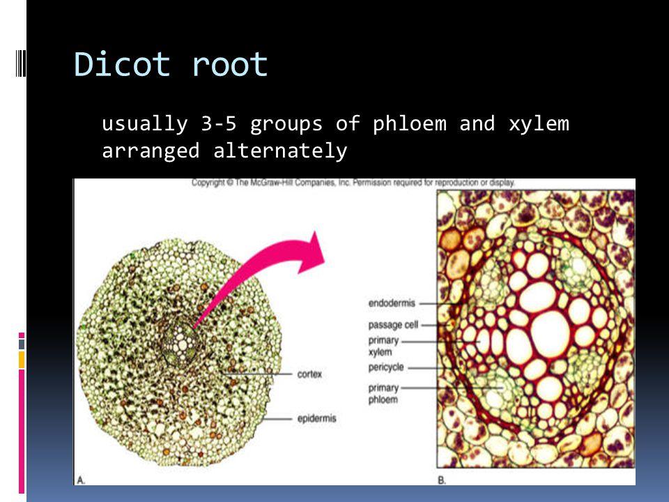Dicot root usually 3-5 groups of phloem and xylem arranged alternately