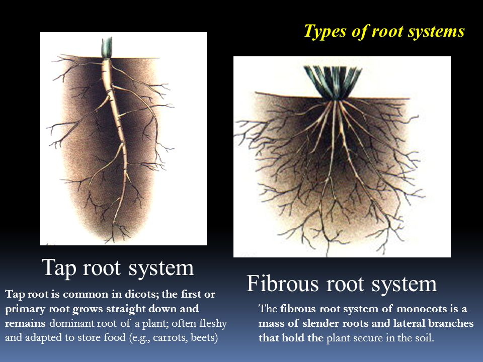 Tap root system Fibrous root system Types of root systems The fibrous root system of monocots is a mass of slender roots and lateral branches that hold the plant secure in the soil.