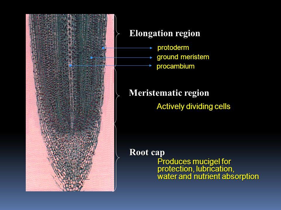 Elongation region Meristematic region Root cap protoderm ground meristem procambium Actively dividing cells Produces mucigel for protection, lubricati
