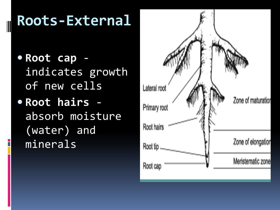 Root development DicotMonocot  there is pith in the very center composed of parenchyma.