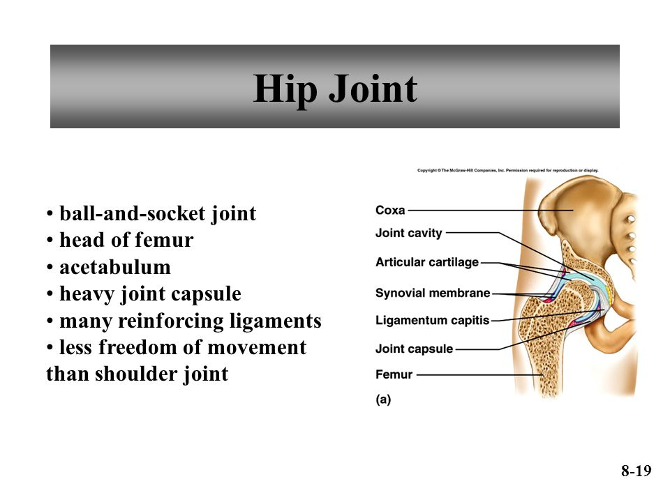 Hip Joint ball-and-socket joint head of femur acetabulum heavy joint capsule many reinforcing ligaments less freedom of movement than shoulder joint 8-19
