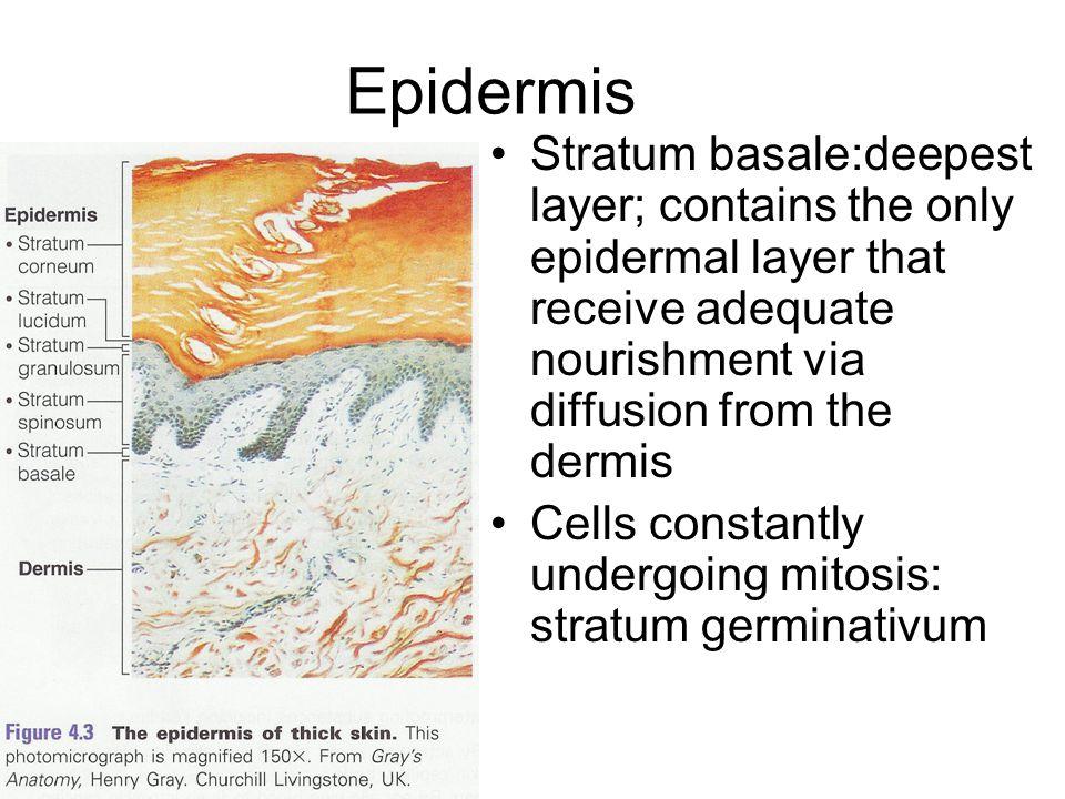 Cells of the Epidermis Keratinocytes, melanocytes, Merkel cells and Langerhan's cells Majority of the cells are keratinocytes –Produce keratin, a fibr