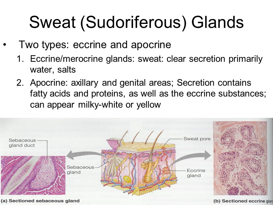 Sebaceous (Oil) Glands Found all over except on the soles and palms Holocrine glands; ducts usually empty into a hair follicle Sebum: mixture of oily