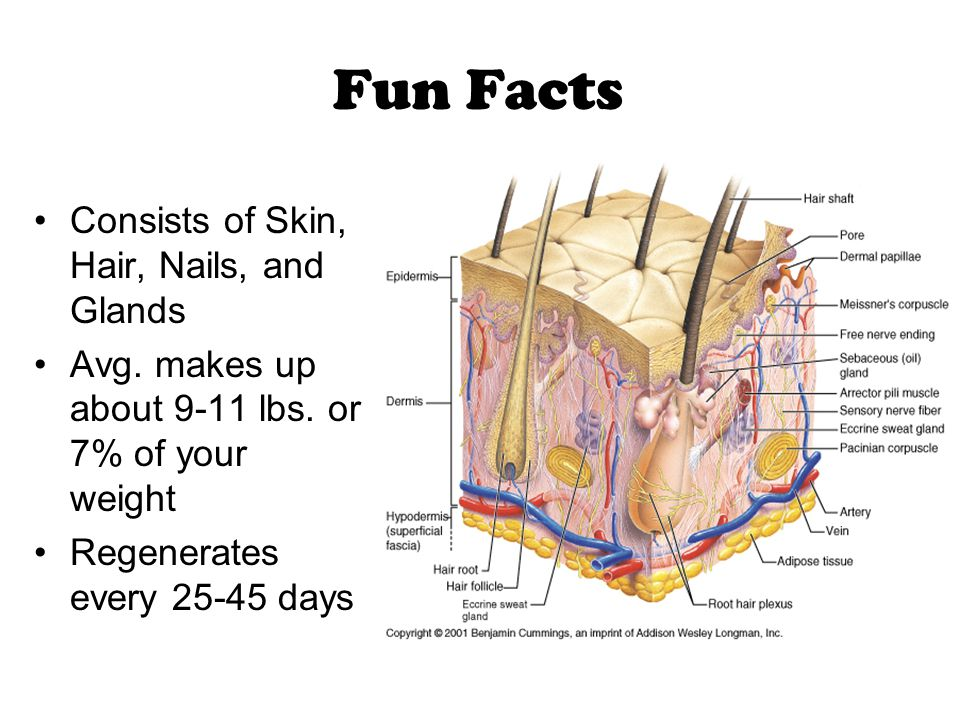The Skin Waterproof, stretchable, washable, repairs small rips, cuts and burns The skin and the associated organs of sweat and oil glands, hairs, and nails make up the Integumentary system