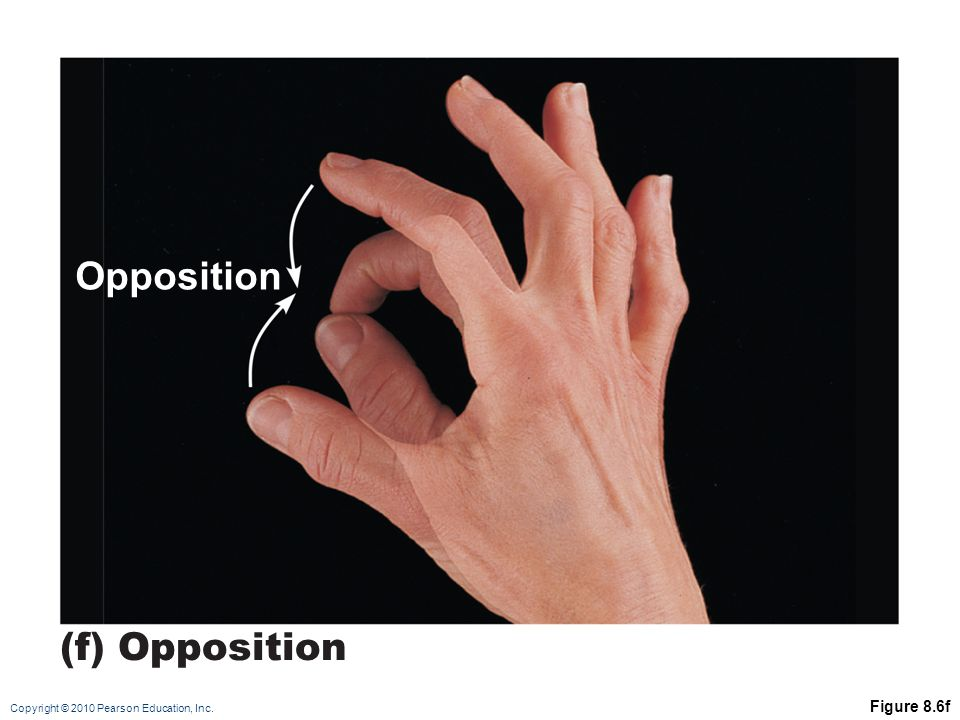 Copyright © 2010 Pearson Education, Inc. Figure 8.6f (f) Opposition Opposition