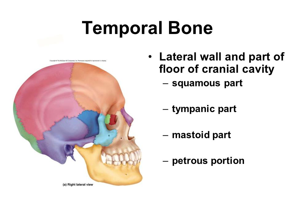 Temporal Bone Lateral wall and part of floor of cranial cavity –squamous part –tympanic part –mastoid part –petrous portion