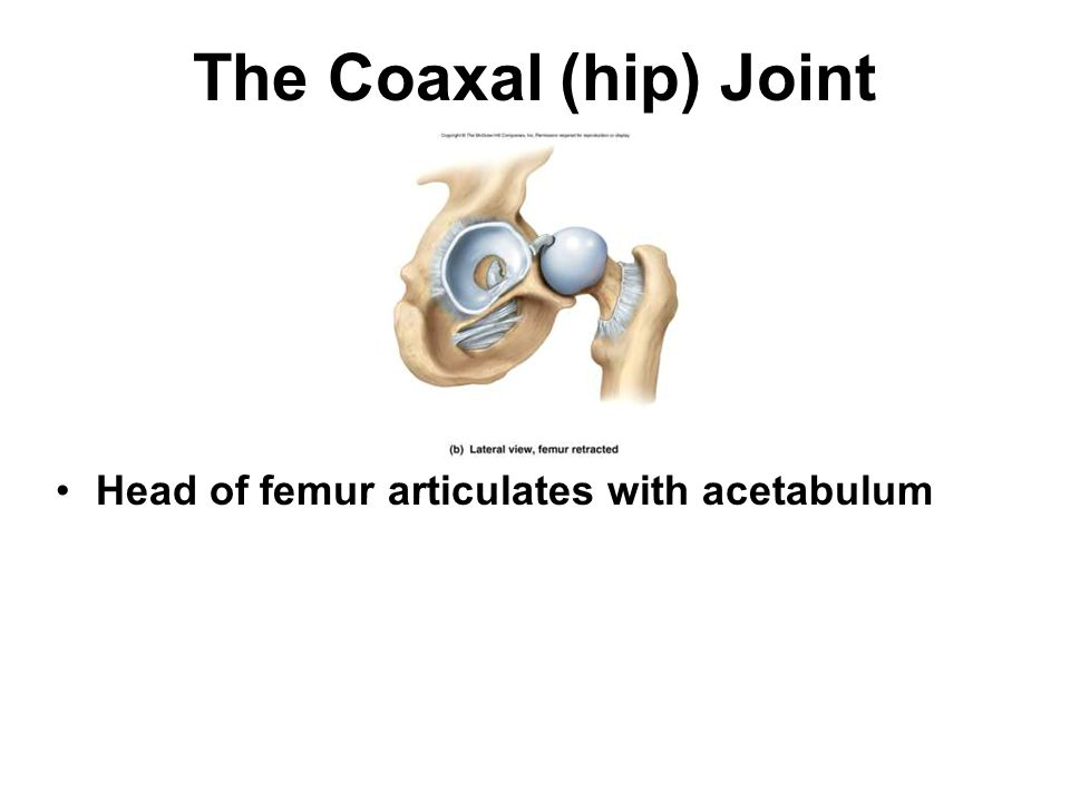 The Coaxal (hip) Joint Head of femur articulates with acetabulum