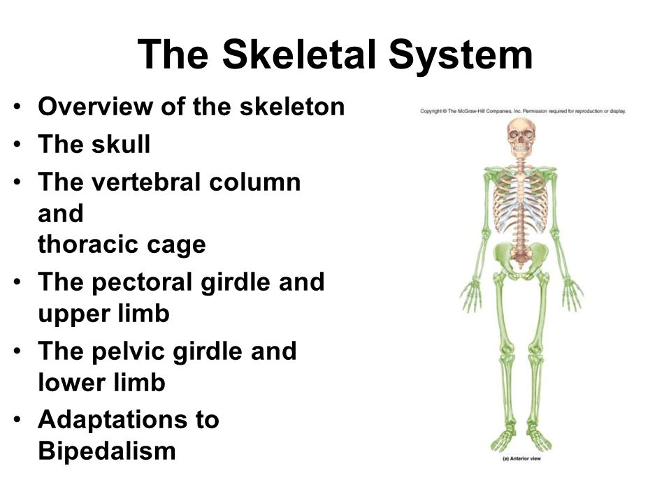 The Skeletal System Overview of the skeleton The skull The vertebral column and thoracic cage The pectoral girdle and upper limb The pelvic girdle and