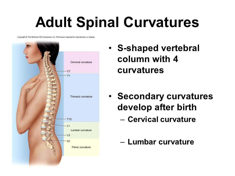 Adult Spinal Curvatures S-shaped vertebral column with 4 curvatures Secondary curvatures develop after birth –Cervical curvature –Lumbar curvature