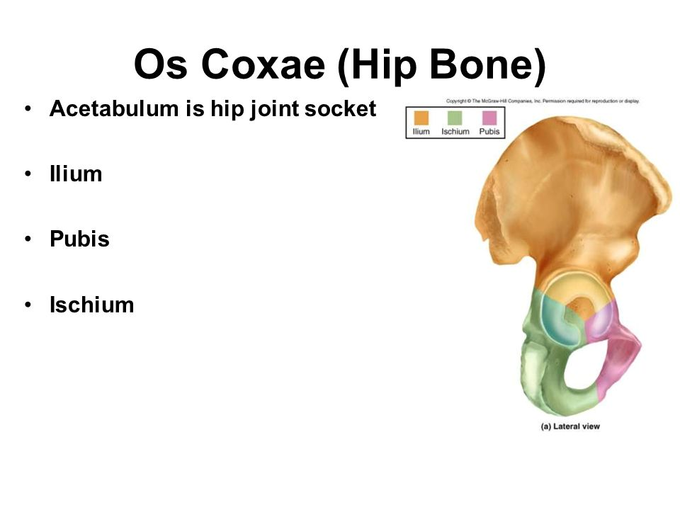 Os Coxae (Hip Bone) Acetabulum is hip joint socket Ilium Pubis Ischium