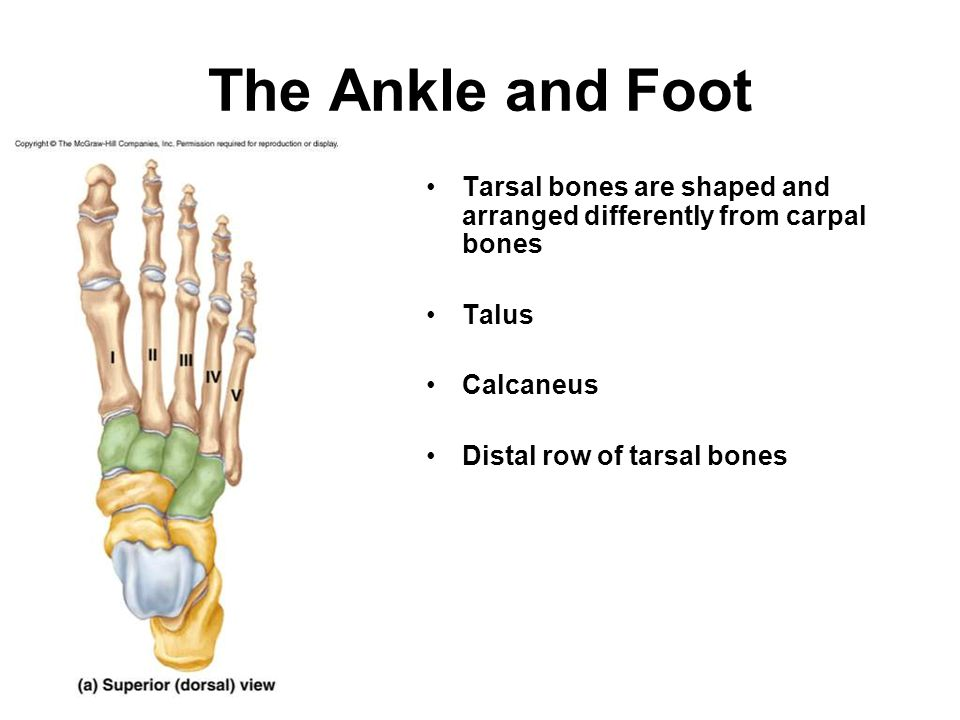 The Ankle and Foot Tarsal bones are shaped and arranged differently from carpal bones Talus Calcaneus Distal row of tarsal bones