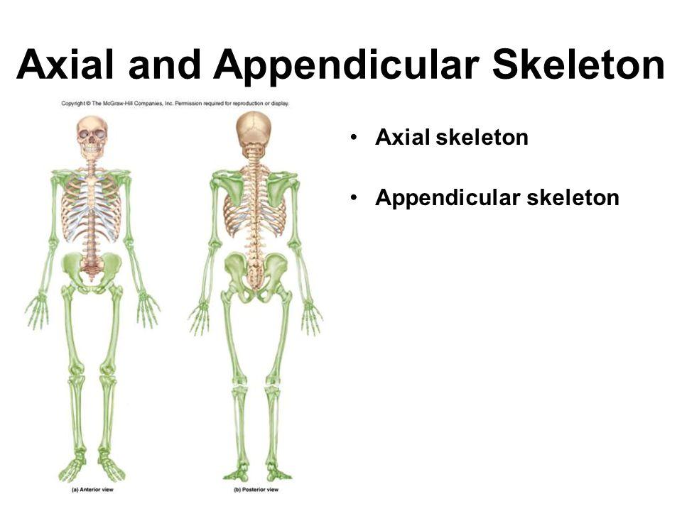 Os Coxae (Hip Bone) Acetabulum is hip joint socket Ilium Pubis Ischium