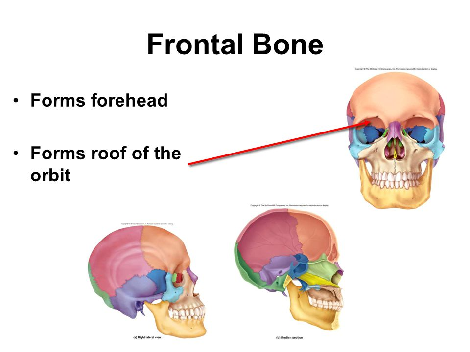 Frontal Bone Forms forehead Forms roof of the orbit