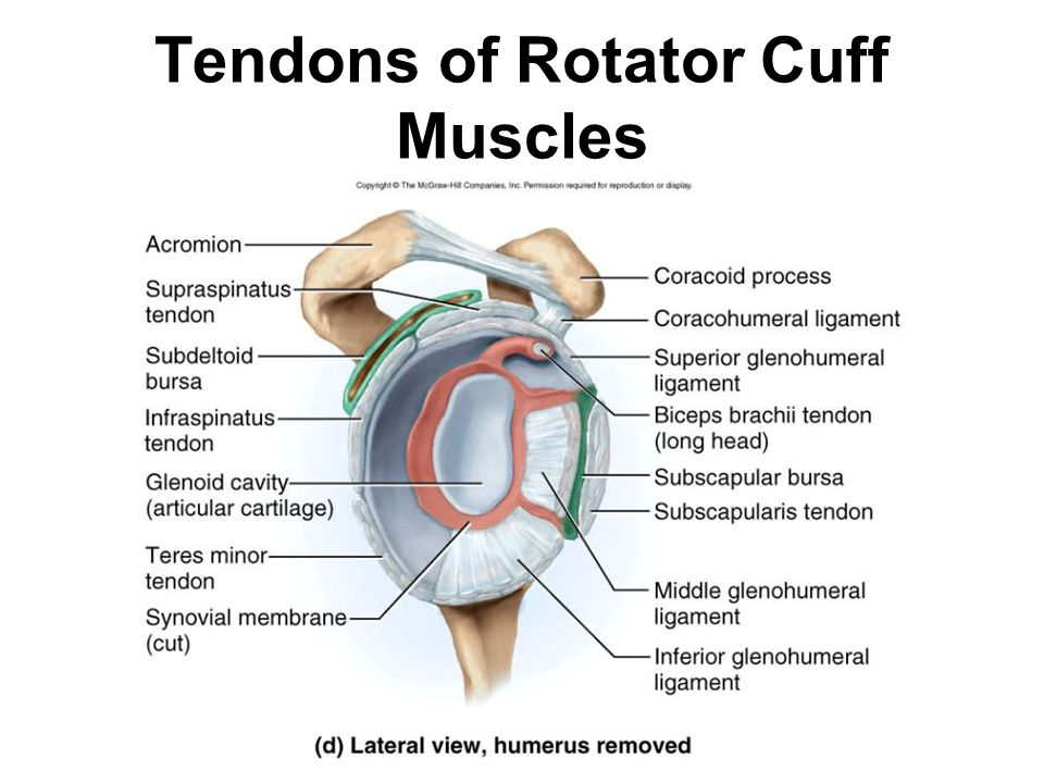 Tendons of Rotator Cuff Muscles