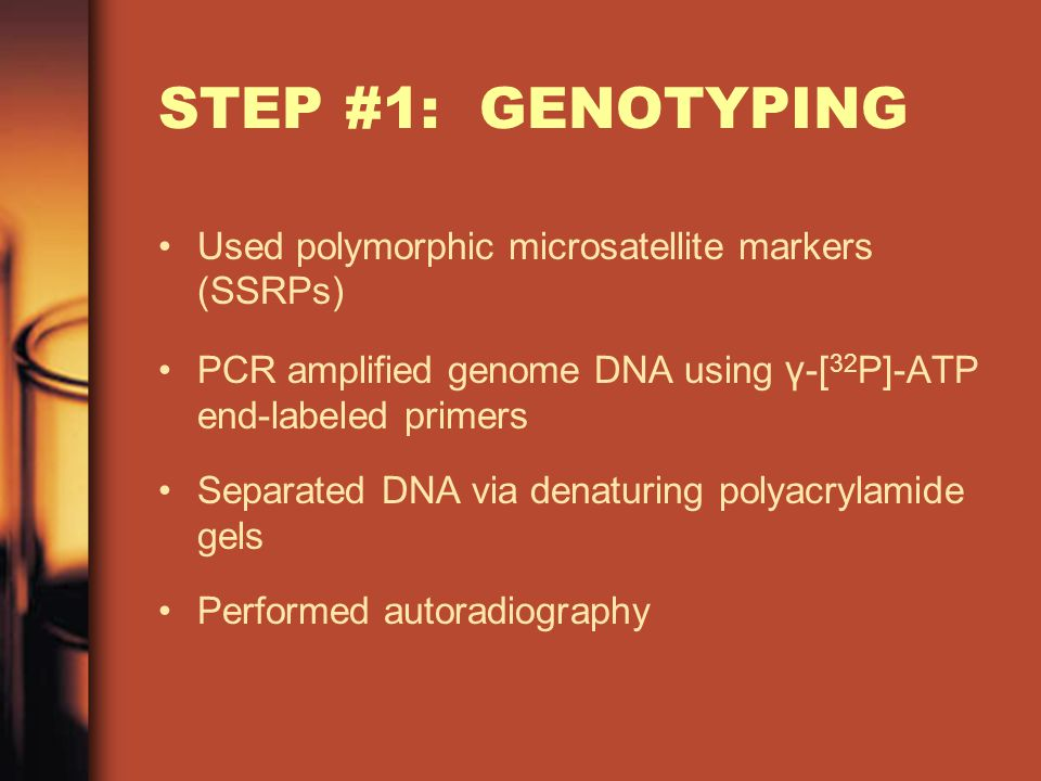 STEP #1: GENOTYPING Used polymorphic microsatellite markers (SSRPs) PCR amplified genome DNA using γ -[ 32 P]-ATP end-labeled primers Separated DNA via denaturing polyacrylamide gels Performed autoradiography