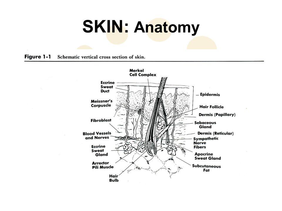 SKIN: Anatomy