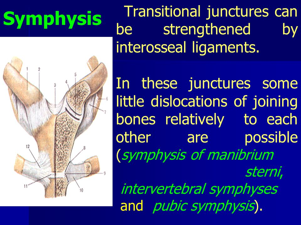 Symphysis Transitional junctures can be strengthened by interosseal ligaments.