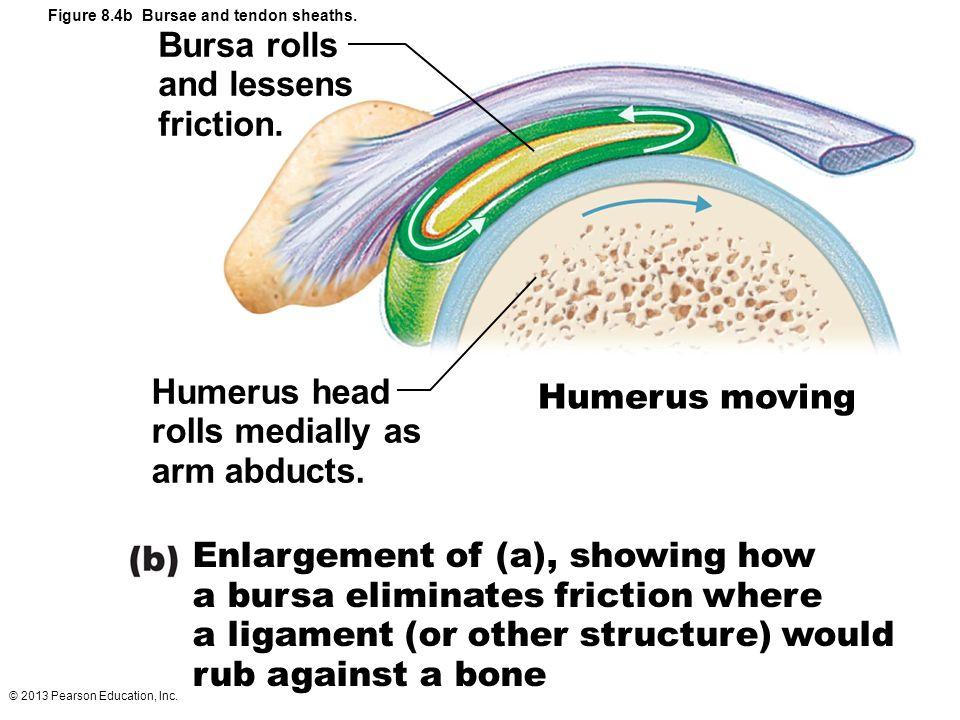 © 2013 Pearson Education, Inc. Figure 8.4b Bursae and tendon sheaths. Bursa rolls and lessens friction. Humerus head rolls medially as arm abducts. Hu