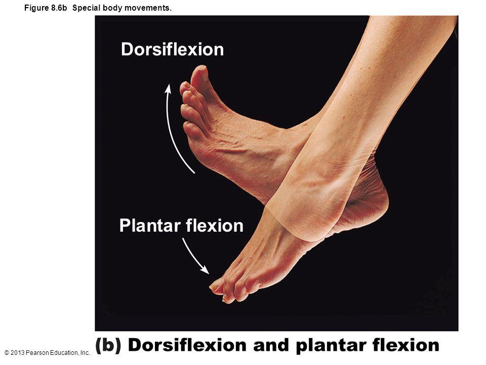 © 2013 Pearson Education, Inc. Figure 8.6b Special body movements. Dorsiflexion and plantar flexion Plantar flexion Dorsiflexion