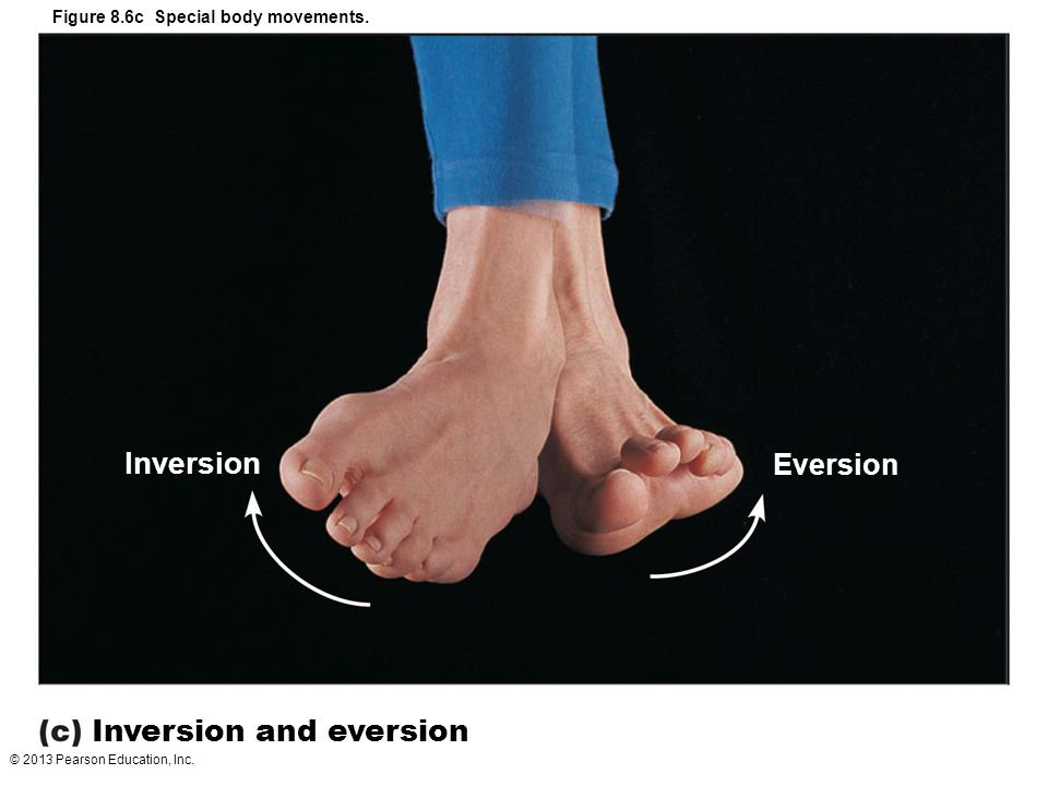© 2013 Pearson Education, Inc. Figure 8.6c Special body movements. Inversion and eversion Inversion Eversion