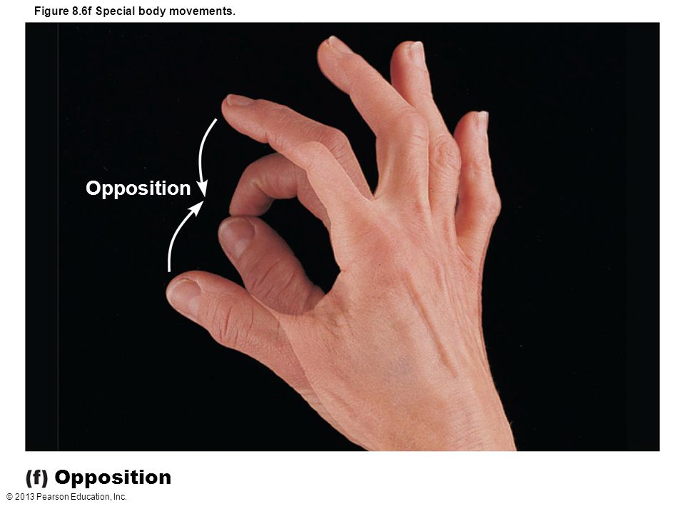 © 2013 Pearson Education, Inc. Figure 8.6f Special body movements. Opposition