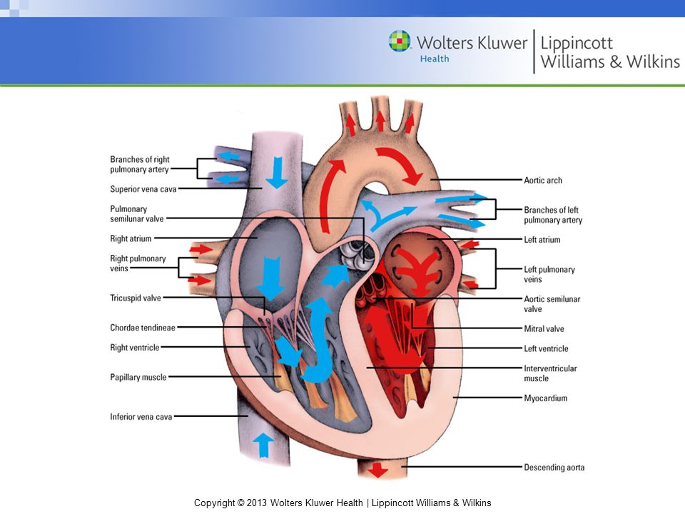Copyright © 2013 Wolters Kluwer Health | Lippincott Williams & Wilkins Chapter 8: Cardiovascular system Blood flow Circulation (continued) Coronary—blood flows out of the heart during diastole and through the cardiac arteries to nourish heart muscle