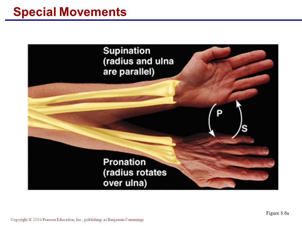 Copyright © 2004 Pearson Education, Inc., publishing as Benjamin Cummings Special Movements Figure 8.6a