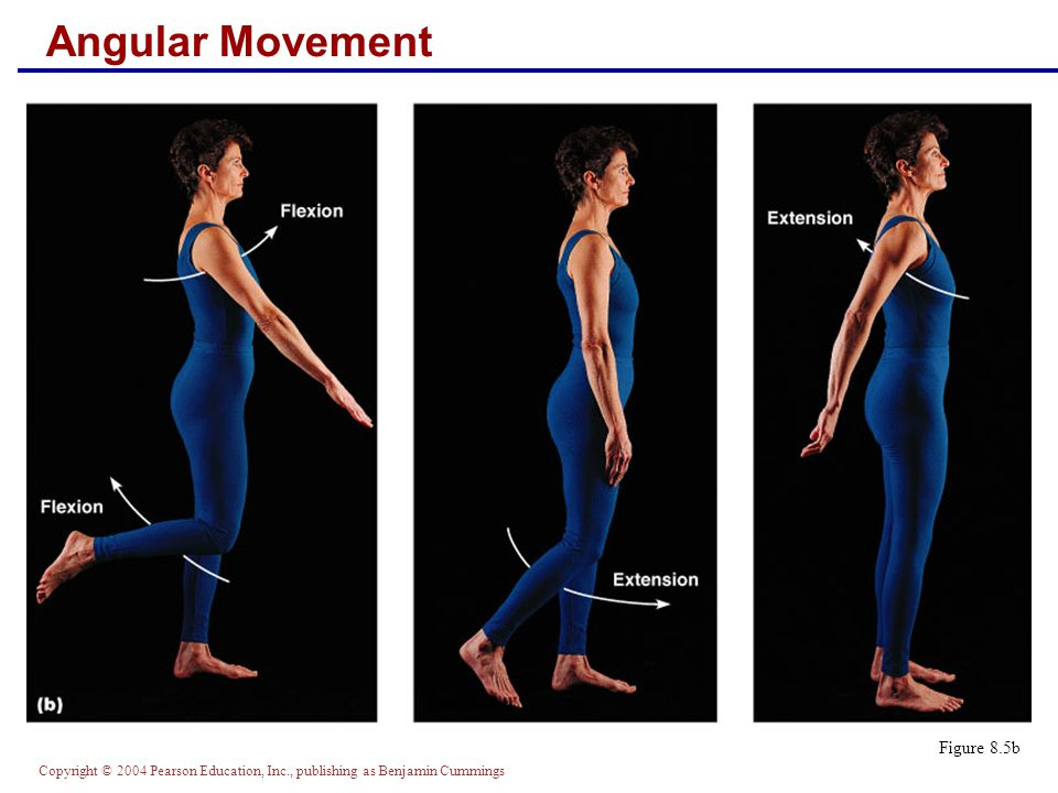 Copyright © 2004 Pearson Education, Inc., publishing as Benjamin Cummings Angular Movement Figure 8.5b