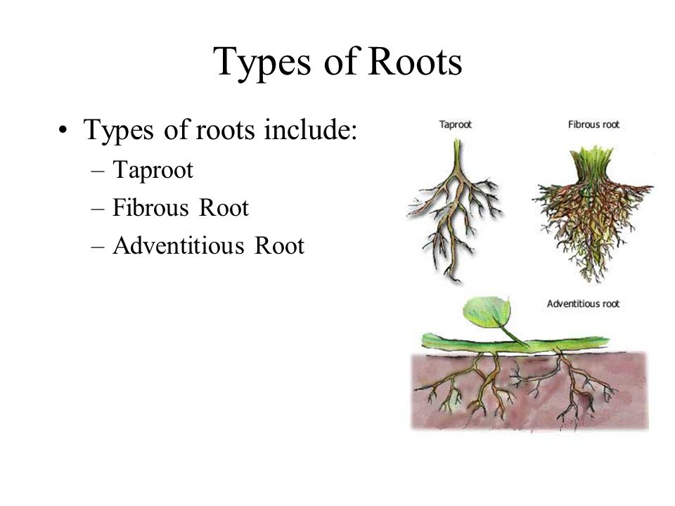 Roots The function of roots in a plant is to –Anchor plant –Absorb water and minerals –Store organic nutrients (starch)